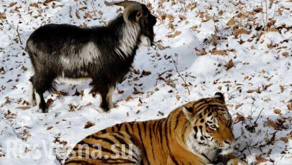 Дружбу козла Тимура и тигра Амура превратят в реалити-шоу (ВИДЕО)