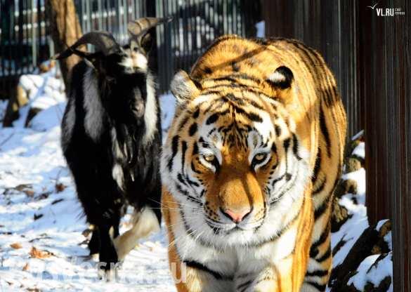 Тигр Амур и козел Тимур в сафари-парке играют в догонялки (ВИДЕО)