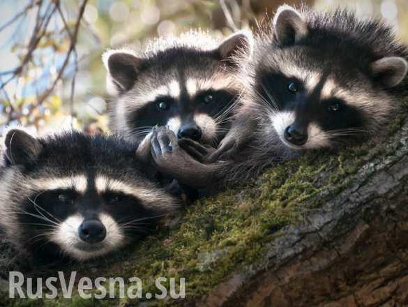 Банда енотов-грабителей орудует в Московском зоопарке (ВИДЕО)