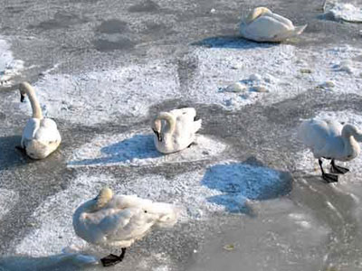 На Украине мучают лебедей примёрзших ко льду четверо суток