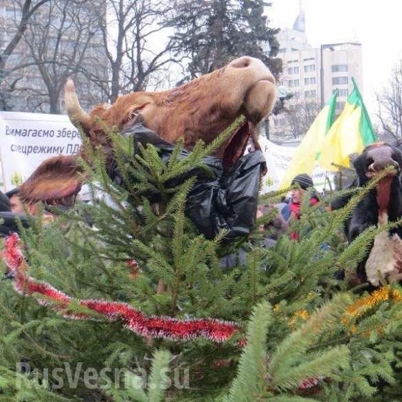 Под Верховную Раду принесли коровьи головы (ФОТО 18 ) | Русская весна