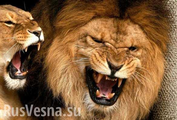 Зоопарк в Сантьяго пожертвовал двумя львами, чтобы спасти жизнь самоубийце