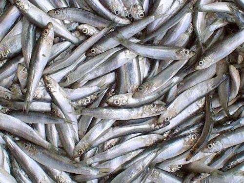 В Азовском море почти не осталось крупной рыбы: виноваты загрязнение и браконьеры